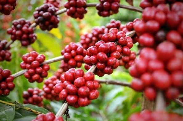 Boas práticas para reduzir custos na lavoura de café